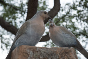 Doves_close_up_12-4